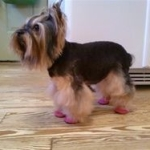Yorkie Wears Dog Booties To Prevent Allergy Scratching