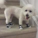 Bichon Dog Sneakers