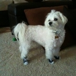 Gorgeous Maltese is Styling in Dog Sneakers