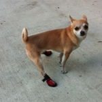 Small Dog Wears Dog Booties For Nerve & Spine Damage
