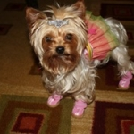Rain Boots for a Tiny Yorkie