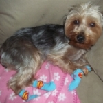 Yorkshire Terrier Is Super in his Superman Dog Socks