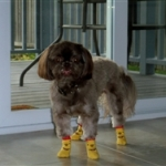 Shih Tzu is Wearing Winnie the Pooh Dog Socks