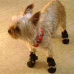 Yorkie Wearing Winter Dog Boots
