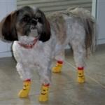 Shi Tzu Wearing Winnie the Pooh Dog Socks