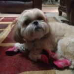 Shi Tzu Wears Mini Meshies Booties to Help With Traction