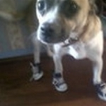 Tiny Chihuahua Is Dressed In Converse Dog Sneakers