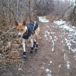 Basenji Wearing Hiking Boots