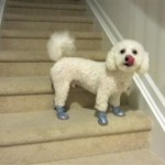 Poodle in Blue Suede Shoes