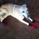 Golden Retriever Allergy Dog Booties