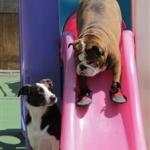 Bulldog's Tender Paws