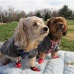 Adorable Yorkies are Wearing Mickey & Minnie Dog Socks