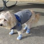 Morkie Is Wearing Leather Winter Dog Boots | Teddy Bear