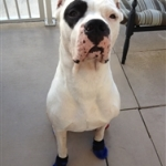 Dogo Argentino Wearing Allergy Dog Booties