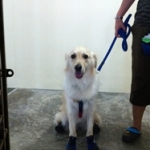 Bailey from Singapore is Wearing Dog Boots