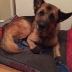 Boots for GSD for Traction