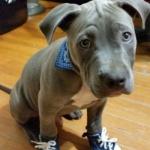 pitbull sneakers