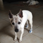 Jack Russell Has Back Injury and Arthritis