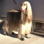 Afghan Hound in Boots!