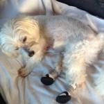 Paraplegic Dog Gets Help With Booties!