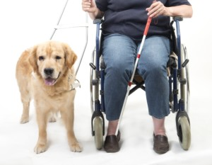 service guide dog with person in wheelchair
