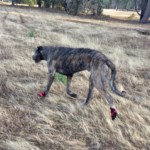 Irish Wolfhound Loves His Boots!