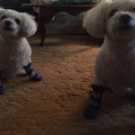 Winter boots for my mini poodles!