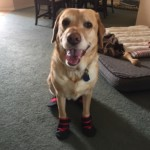 Found Great Boots for my Guide Dog