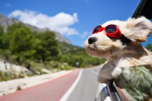 dog in car on vacation