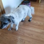 Oreo and her boots for arthritis