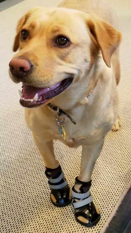 Lab Wears Camo Booties