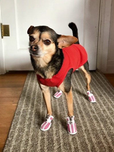 Lightweight Boots for a Little Chihuahua