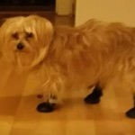 My Silky Terrier in his zipper boots