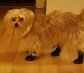 Silky Terrier Hiking Boots