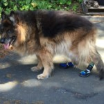 Boris with his new boots for back feet!