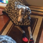Neuro Dog Boots Help