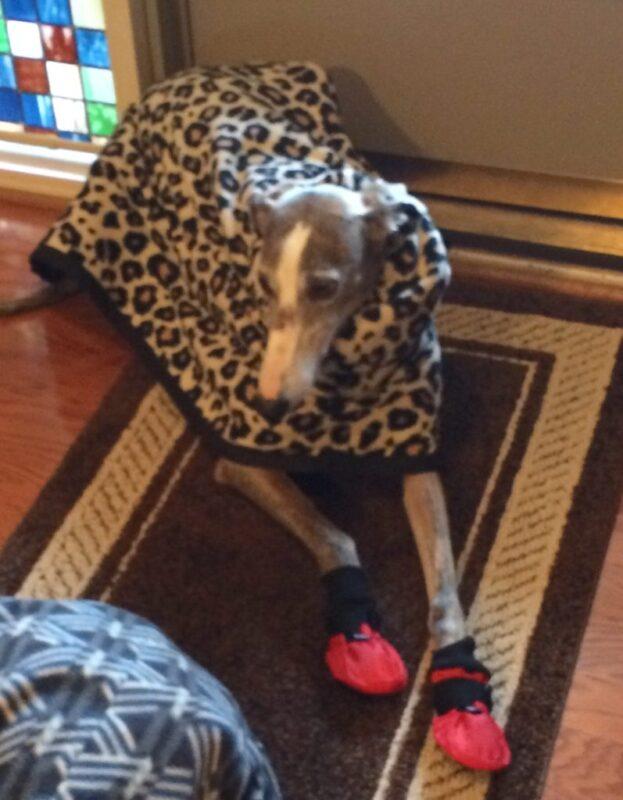 Greyhound Dressed For Winter