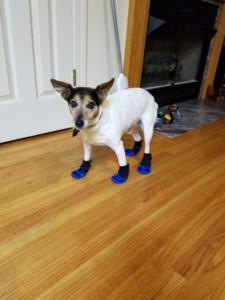 Jack Russell Needs Non Slip Booties