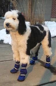 Sheepadoodle Wearing Winter Boots