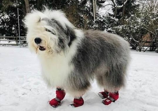 Sheepadoodle Winter Boots