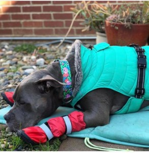 dog wearing winter clothes