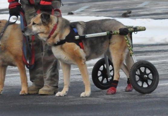 Boots for Dog In Wheelchair