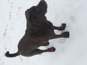 Lab in Boots