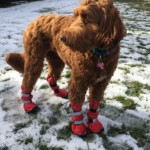 Snow Boots For My Doodle Dog