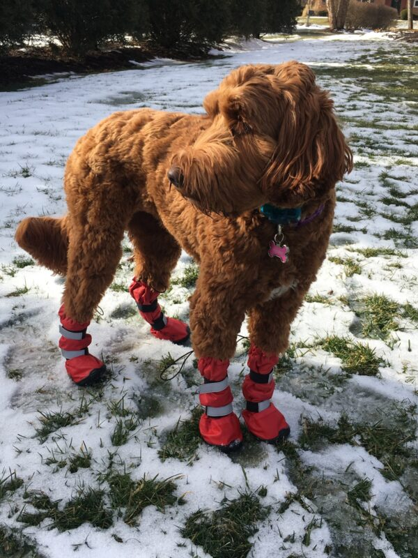 Labradoodle Boots