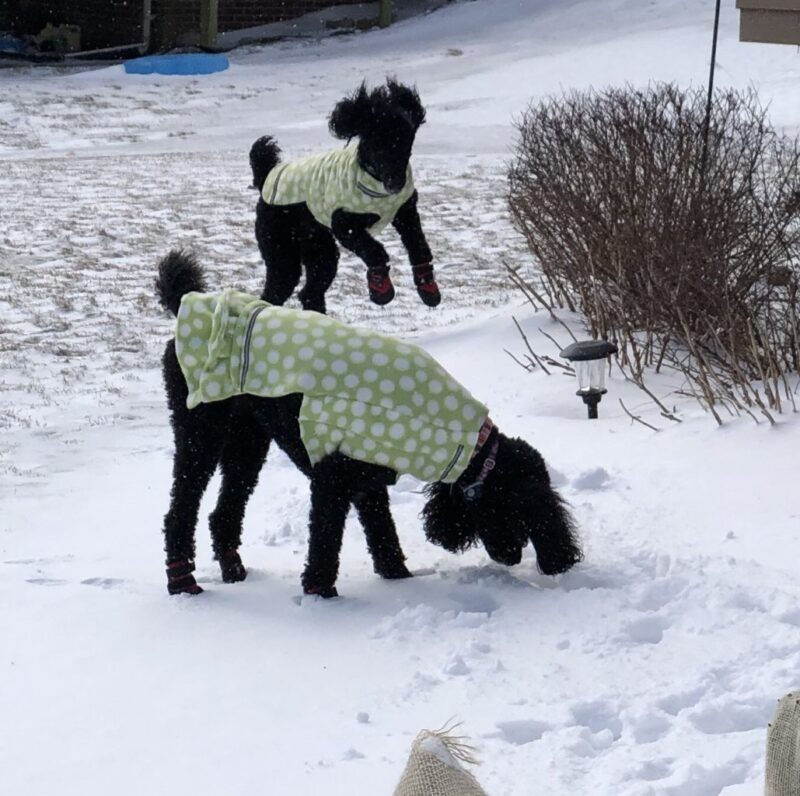 Poodles Jumping In Snow